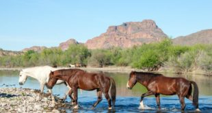 wild horses of Arizona